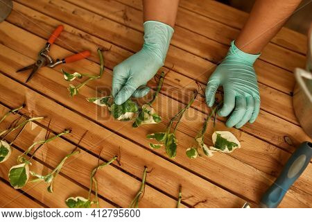 Female Hands On The Table For New Seedlings. Gardener With Gloves Sorts Out Seedlings For Planting P