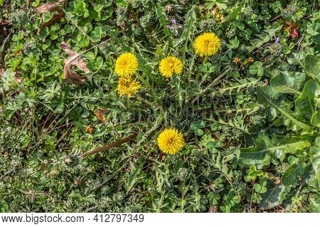 A Cluster Of Yellow Dandelions Flowering In A Field Surrounded By Other Weeds And Grass On A Sunny D