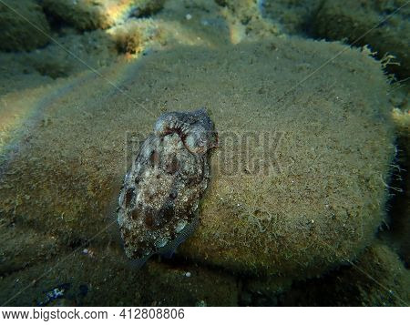 Common Cuttlefish Or European Common Cuttlefish (sepia Officinalis) Undersea, Aegean Sea, Greece, Ha