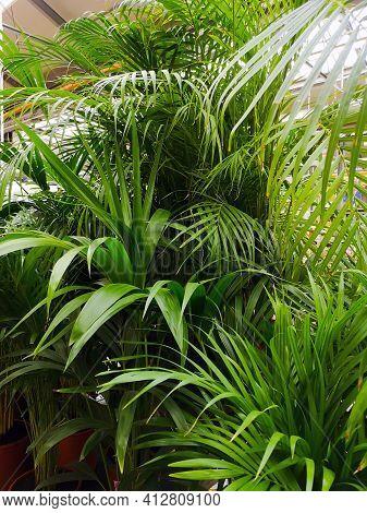Close Up Of Green Areca Palm Plant, Indoor Palm Tree. Howea Forsteriana, Arecaceae, Palmae. Fresh Gr