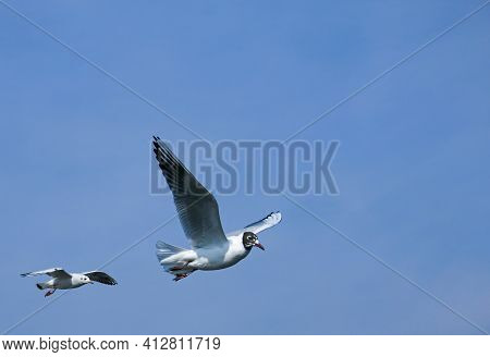 Group Of Seagulls Flying Against The Blue Sky. Most Gulls Belong To The Large Genus Larus. In Everyd