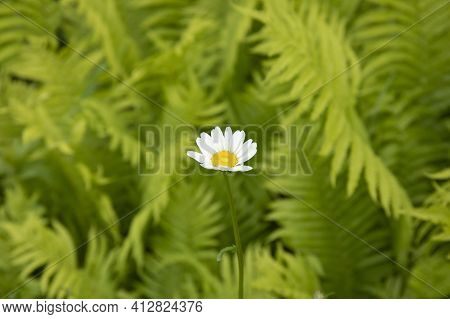One Gentle Chamomile Against Green Leaves Of Fern In The Nature