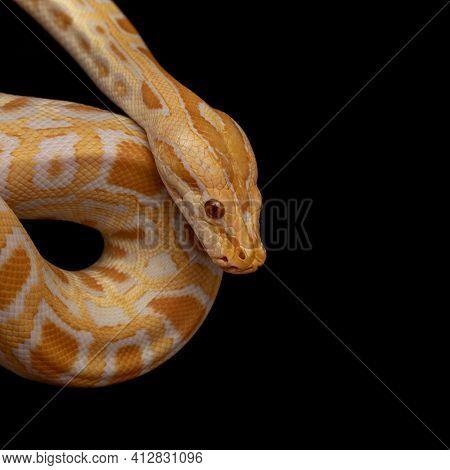 Gold Python, Reticulated Python (python Reticulatus), Pet Serpent