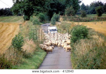 Sheep And Car
