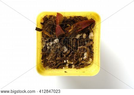 Top View Pot Of Faded Succulent Plant On White Background