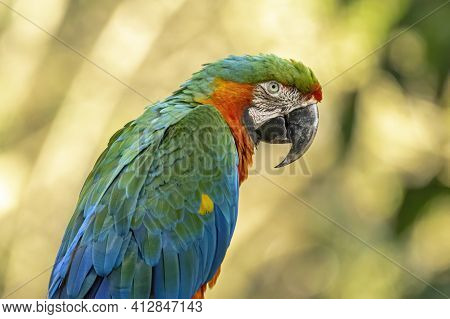 Hybrid Macaw. This Specimen Was A Result Of The Crossbreeding Of A Great Green Macaw (ara Ambigua) A