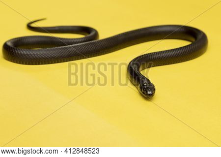 The Mexican Black Kingsnake (lampropeltis Getula Nigrita) Is Part Of The Larger Colubrid Family Of S