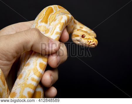 Python Molurus Bivitattus Is One Of The Largest Species Of Snakes. It Is Native To A Large Area Of S