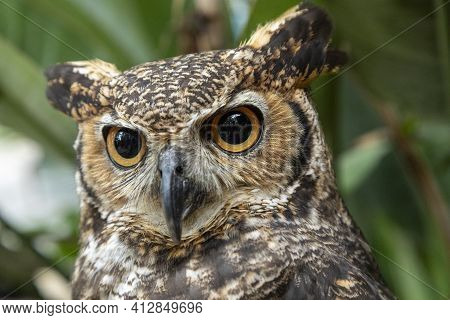 The Great Horned Owl (bubo Virginianus), Also Known As The Tiger Owl Or The Hoot Owl, Is A Large Owl