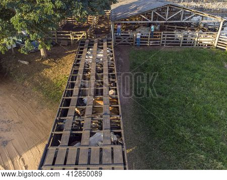Truck Loaded With Oxen During The Day