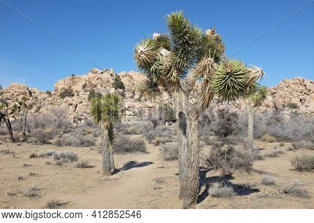 Joshua tree (Yucca brevifolia) is native to southwestern North America in the states of California, Arizona, Utah, and Nevada, where it is confined mostly to the Mojave Desert.