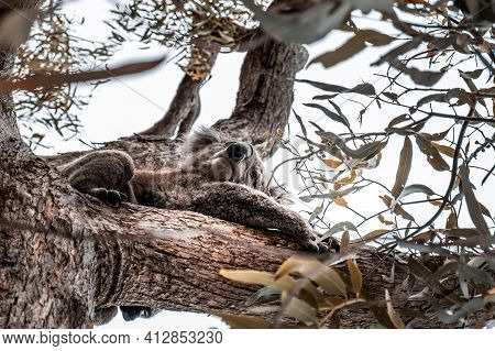 Closeup Of Koala On A Tree Looking Down