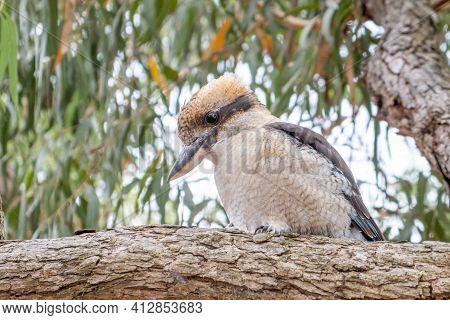 Laughing Kookaburra On Tree Branch In Australia