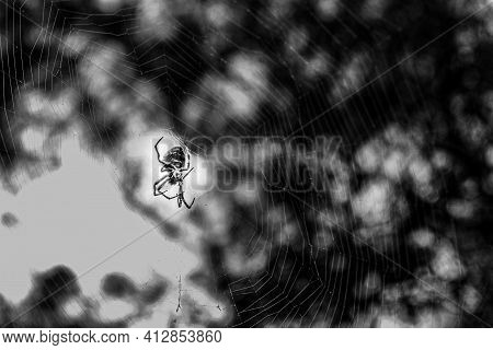 Huge Spider In The Middle Of Its Web With Copy Space In Black And White