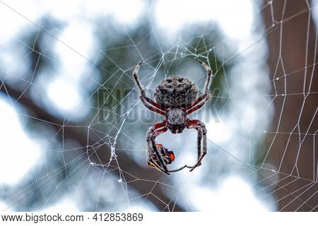 Golden Orb-weaving Spider Extreme Closeup With Shallow Focus