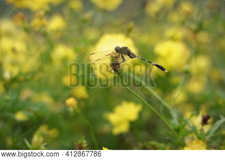 Green Dragonfly In The Cosmos Caudatus Flower Garden. Dragonflies Perching Among The Blooming Yellow
