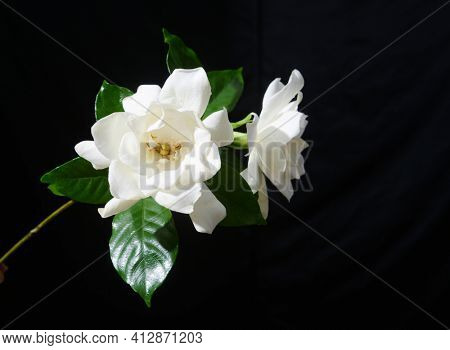 clipping path ,beautiful white gardenia and green leaf isolated on black background ,clipping path