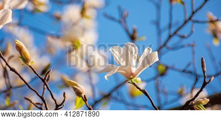 White Magnolia Blossom In The Garden. Springtime Nature Background On A Sunny Day. Delicate Flowers