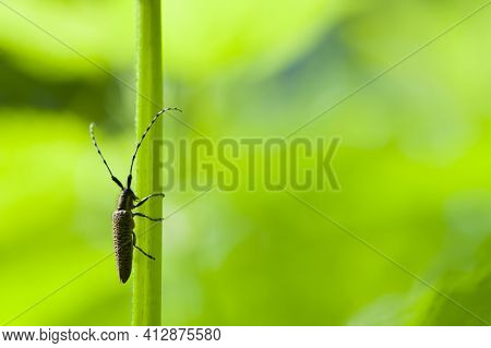 Saperda Carcharias. Agapanthia Dahli. An Insect On A Plant With Large Antennae. Habitat. Beetle Agap