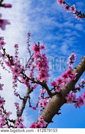 Peach Blossom In Ascoy. Photography Of A Blossoming Of Peach Trees In Cieza In The Murcia Region. Pe
