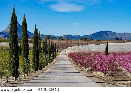 Peach Blossom In Cieza, Mirador El Horno. Photography Of A Blossoming Of Peach Trees In Cieza In The