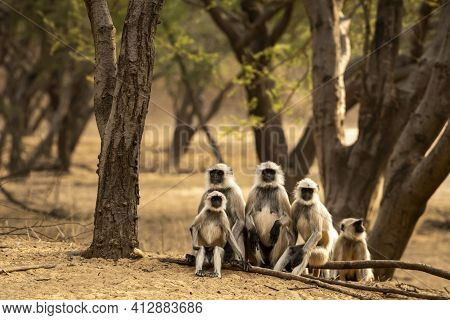 Gray Or Hanuman Langurs Or Indian Langur Or Monkey Family During Outdoor Jungle Safari At Ranthambor