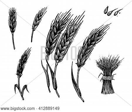 Spikelet, Vector Illustration. Vintage Graphics And Handwork. Drawing With An Ink Pen And Pencil. Th