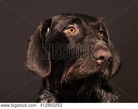 Portrait Of A Dog Thoroughbred German Wire Hair, Brown, Hard-haired. High Quality Photo