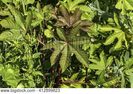 Ricinus Communis Leaf, The Castor Bean Or Castor Oil Plant Close-up With A Snail