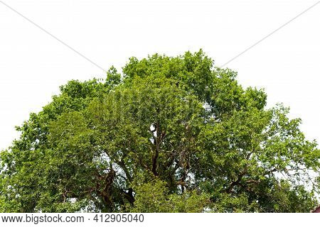 Trees Top View,  Nature Background With Green Leaves Isolated On White Background.