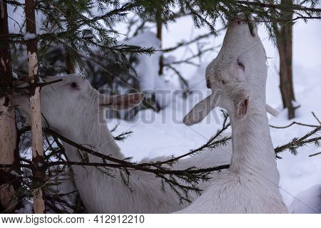 White Milking Goats Graze And Eat Green Spruce Branches Close-up In Winter Snowy Forest In The Eveni