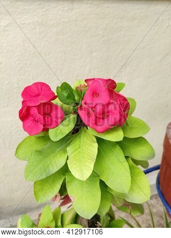 Crown Of Thrones Or Christ Thorns Flower Plant
