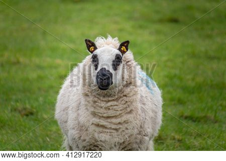 Farm Animal - Sheep Portrait. Farmland View Of A Woolly Sheep In A Green Field