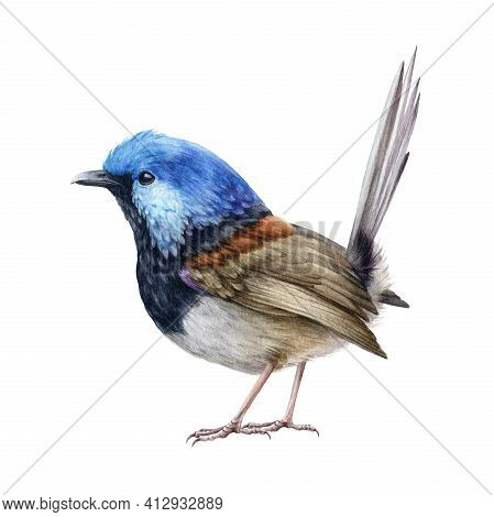 Fairy-wren Bird Bright Illustration. Australian Songbird Fairy Wren. Bright Small Avian Watercolor I