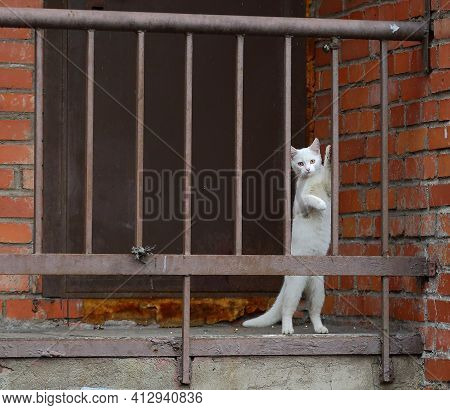A White Cat Plays With A Metal Fence Standing On Its Hind Legs