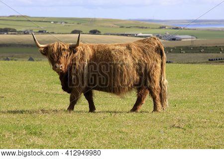 Orkney (scotland), Uk - August 09, 2018: Highland Cow, Orkney, Scotland, Highlands, United Kingdom