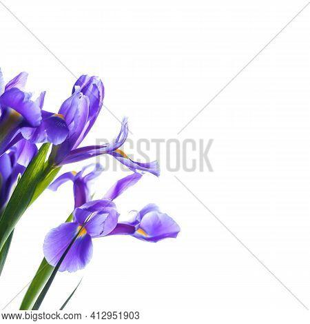 Japanese Irises. Decorative Flowers Isolated On Square White Background, Macro Photo With Selective