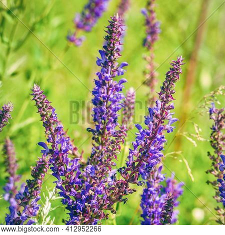 Purple Flowers Of Wild Meadow Sage In Wild. Wild Salvia On A Summer Day Sways The Breeze. Salvia Pra