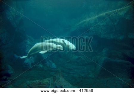 Beluga Whale Courtship