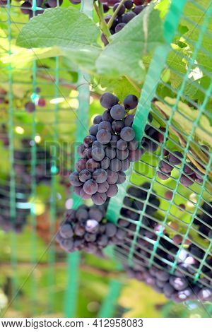 Ripe Appetizing Bunches Of Red Grapes On The Vine Hangs Down From Holding Grid In The Garden Over Bl
