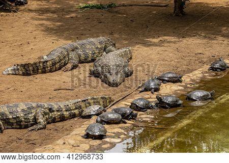 Black Alligators Sunbathing Along With Turtles In Brazil