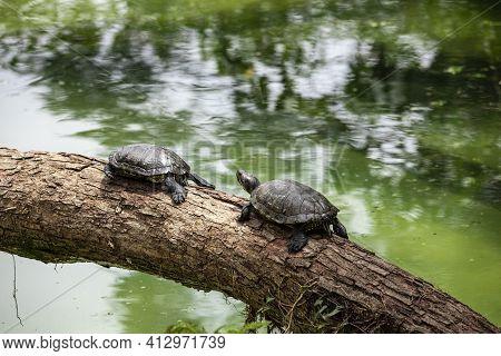 Tiger Tortoise Sunbathing On Tree Trunk In The Lake.