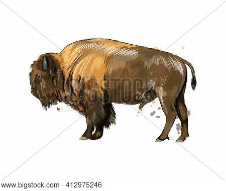 Bison, Buffalo From A Splash Of Watercolor, Colored Drawing, Realistic. Vector Illustration Of Paint