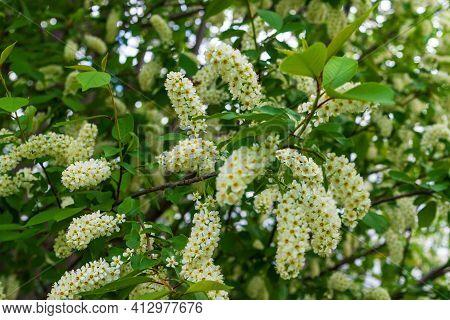 White Bird Cherry Is Strewn With Lush Flowers. Lush Blooming White Bird Cherry.