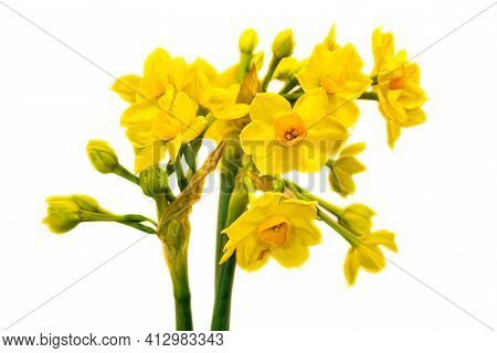 Close-up Of Yellow-orange Narcissus Flowers On The White Background. Macro Photography Of Lively Nat