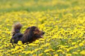 Shot of the dachshund on the dandelions meadow poster
