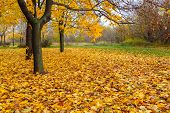 yellow maple trees and fallen leaves in autumn poster