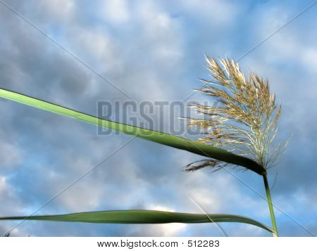 Reed In The Wind B