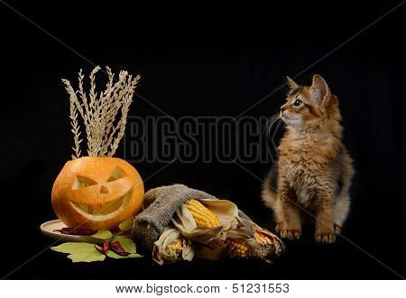 Scary halloween pumpkin jack-o-lantern and somali kitten on black background poster
