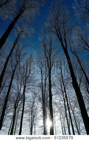 Crown Of Trees